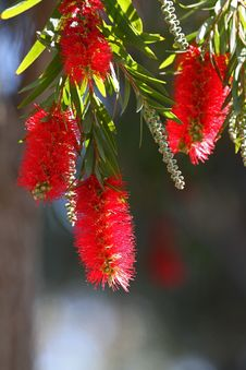 Free Bottle Brush Flower Stock Photos - 23791883