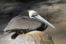 Free Brown Pelican Royalty Free Stock Image - 23792126