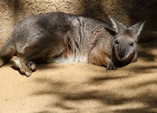 Free Wallaby Royalty Free Stock Image - 23792336