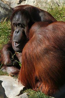 Free Orangutan Royalty Free Stock Photography - 23793847