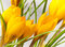 Free Small Yellow Flowers Crocus Royalty Free Stock Photos - 23799538