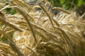 Free Wheat Spikes Stock Image - 2384451