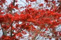 Free Red Maple Tree Stock Photo - 2384680