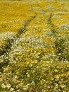 Free Field Of Yellow Flowers Stock Photography - 2384782