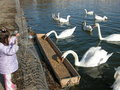 Free Swans In The Lake Stock Images - 2384924