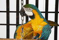Free Tricky Macaw Royalty Free Stock Photography - 2385507