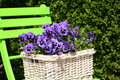 Free Blue Violets Royalty Free Stock Photo - 2389035
