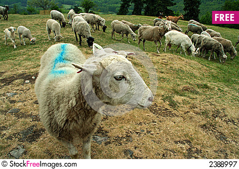 Free Sheep At Pasture Royalty Free Stock Photography - 2388997