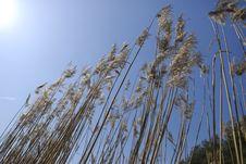 Free Reeds On Sky Background Stock Image - 2380351
