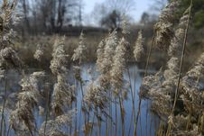 Free Reeds Close Up Stock Photography - 2380382