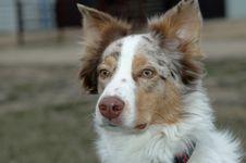 Free Australian Shepherd Dog Stock Image - 2382001