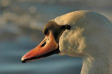 Portrait Of A Swan Royalty Free Stock Images