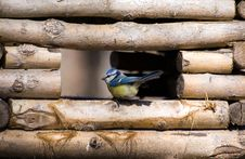 Blue Tit In A Feeding Trough Royalty Free Stock Photography