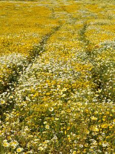 Field Of Yellow Flowers Stock Photography