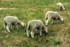 Free Four Sheep Stock Photo - 2384840