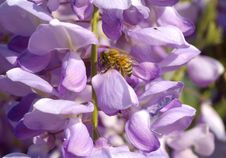 Free Bee On Wistaria Flowers Stock Photo - 2385250