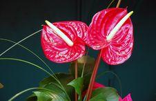 Free Red Flower - Anthirum Royalty Free Stock Photography - 2385637
