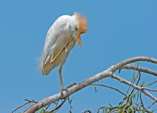 Free Cattle Egret 03 Stock Image - 2385661