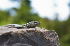 Free Lizard Stock Images - 2385804
