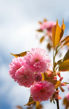 Free Cherry Blossom Stock Photography - 2386372