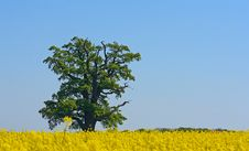 Free Lonely Old Tree Royalty Free Stock Photos - 2386968