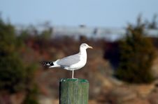 Free Lone Seagull Stock Photo - 2387170