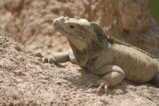 Free Iguana Stock Image - 2388251