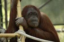 Free Orangutan Portrait Stock Photography - 2388302