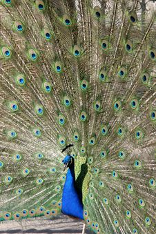 Free Peacock Royalty Free Stock Image - 2388936
