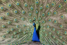 Free Peacock Royalty Free Stock Images - 2388949