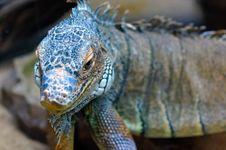 Free Beautiful Reptile Stock Image - 23809411