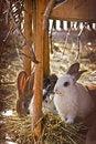 Free Domestic Rabbits On Hay Stock Photo - 23822770