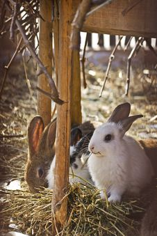 Free Domestic Rabbits On Hay Stock Photo - 23822770