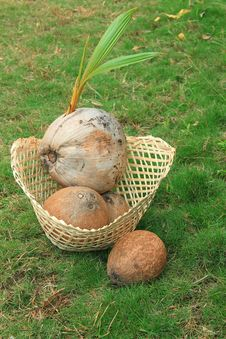 Sprouted  Coconut In Bamboo Basket Stock Photography
