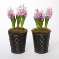 Free Two Flowerpots With Hyacinths Stock Photography - 23836952