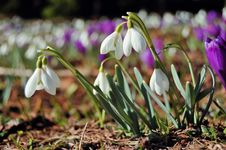 Free Blossoming Crocuses And Snowdrops Stock Image - 23837581