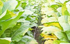 Free Tobacco Plants Royalty Free Stock Images - 23838899