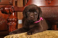 Free Two Month Old Labrador Puppy Portrait Royalty Free Stock Photos - 23839198