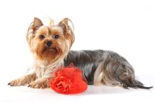 Cute Yorkshire Terrier With Red Hat Royalty Free Stock Images