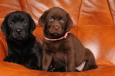 Free Two Labrador Puppies On The Sofa Royalty Free Stock Photography - 23839307