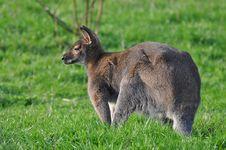 Kangaroo On A Grass Stock Images