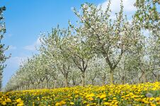 Free Blossoming Apple Orchard Stock Image - 23849111