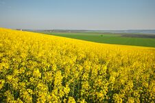 Free Rapeseed In Bloom Royalty Free Stock Photos - 23849758