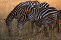 Free Serengeti Zebras Stock Photography - 23857182