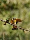 Free Feeding Little Bee-eaters Stock Photo - 23857360