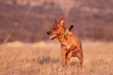 Free Running Dog Royalty Free Stock Photo - 23852995