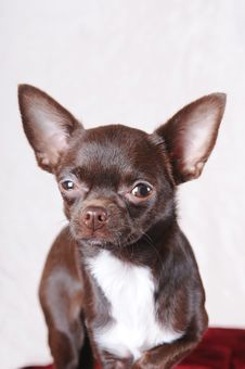 Free Chihuahua Portrait Stock Photo - 23853870