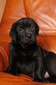 Free Black Labrador Puppy Portrait Stock Image - 23853891