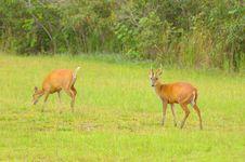 Free Dual Deers. Royalty Free Stock Images - 23856709