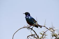Free Superb Starling Royalty Free Stock Image - 23857306